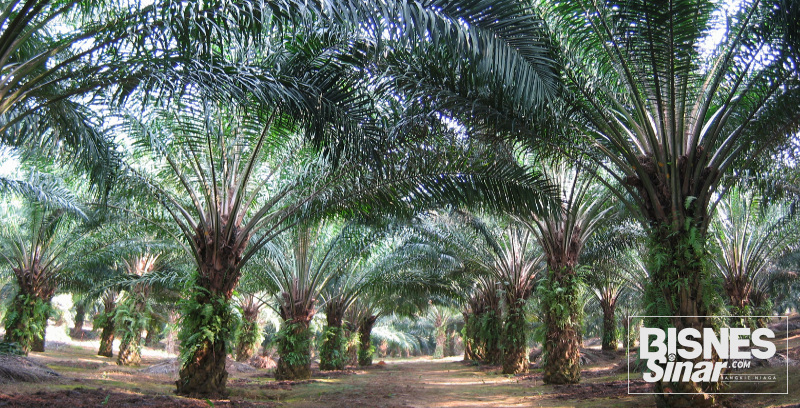 Lebih banyak insentif bagi penanam sawit miliki MSPO
