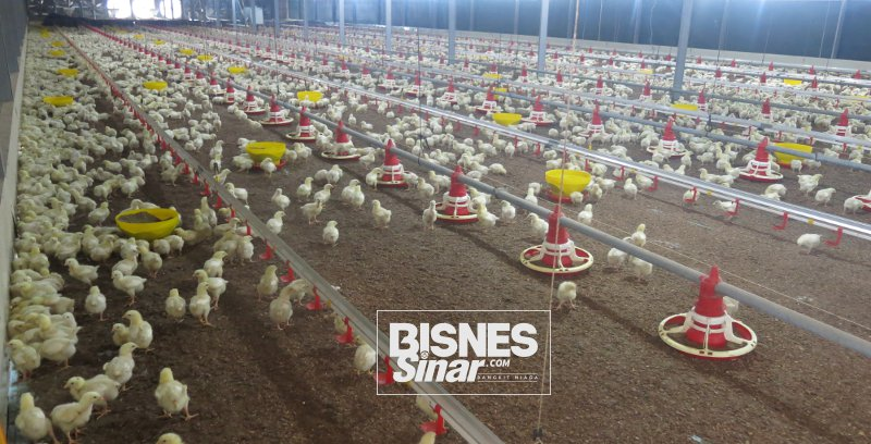 Delima Emas syarikat Bumiputera Muslim pelopori pengeluaran ayam herba organik halal di Malaysia